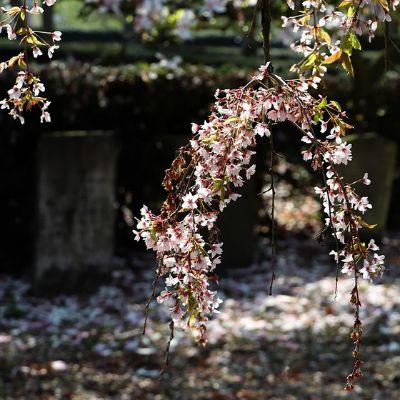 장례에 대한 인식이 바뀌고 있다. 일본에서는 전통 불교식에서 무종교까지 장례 스타일이 다양해지고, 장례를 치르지 않는 사람도 늘었다. [사진 pixabay]