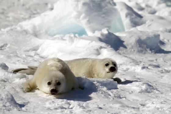 캐나다 퀘벡주 북부의 해빙 위에서 쉬고 있는 새끼 하프물범들. [사진 adventure life]
