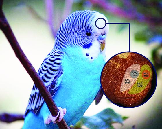 앵무새는 뇌에 노래핵이라는 기관을 통해 소리를 학습하고 흉내 낼 수 있다. Jonathan E. Lee, Duke University
