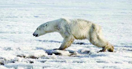 지난 16일(현지시간) 러시아 캄차카반도의 틸리치키 부근의 얼음 위를 걷는 북극곰[AP=연합뉴스]