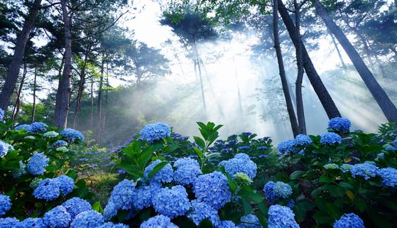 전라남도는 광역 지자체 중 인구당 확진자 수가 가장 적다. 한국관광공사는 전남에서도 덜 알려진 관광지 50곳을 '안심여행지'로 선정했다. 사진은 수국꽃 만발한 해남 포레스트수목원. 사진 한국관광공사