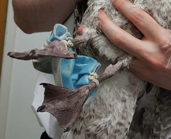 영국 남부 에식스 야생동물병원에서 마스크에 발이 묶인 갈매기가 구조됐다. South Essex Wildlife Hospital