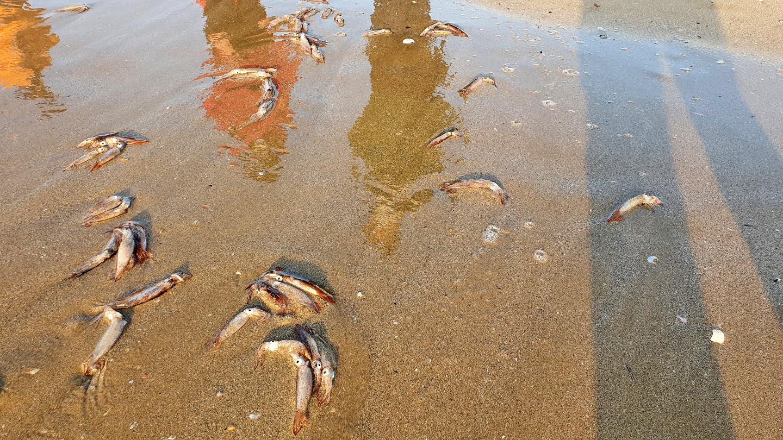 13일 오전 경북 포항시 북구 두호동 영일대해수욕장 해변에서 발견된 어린 살오징어. 연합뉴스
