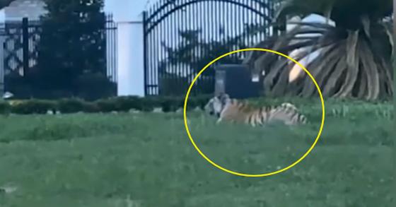 지난 9일(현지시간) 미 텍사스주 휴스턴 주택가 마당에서 발견된 인도 뱅갈 호랑이. [Maria torres 영상 캡처]