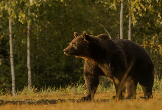 불곰(사진은 기사와 직접적 관련이 없습니다). AFP=연합뉴스