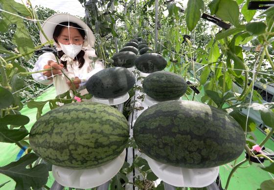 충북농업기술원 수박연구소가 개발한 수박 수직 수경재배법. [사진 충북농업기술원]