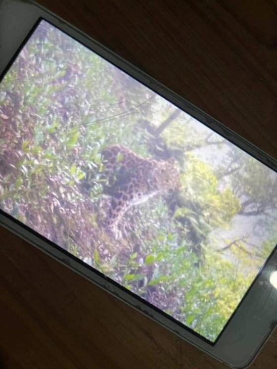 지난달 19일 중국 항저우의 한 동물원에서 표범 3마리가 탈출했다. 이 표범 중 두 마리는 찾았으나 마지막 한 마리는 발견되지 않았다. [신징바오]