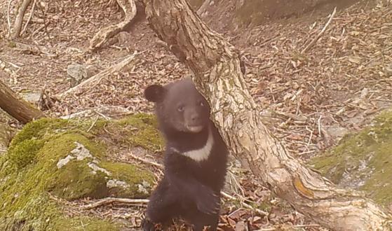 지리산에서 포착된 반달가슴곰 새끼. 국립공원공단