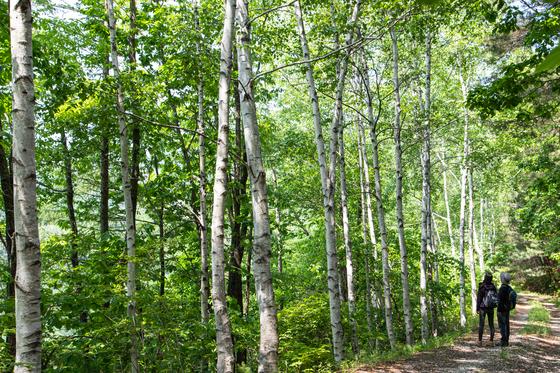 치악산둘레길 9코스 자작나무길을 걷다가 만난 풍경. 과거 임도를 내면서 가로수로 자작나무를 심었다.
