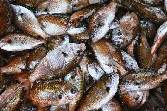 자리돔. 제주를 대표하는 서민 생선이다. 지금이 제철로, 어른 손바닥만 한 크기가 다 자란 것이다. 제주 전통 물회는 자리물회 한 가지였다. 손민호 기자