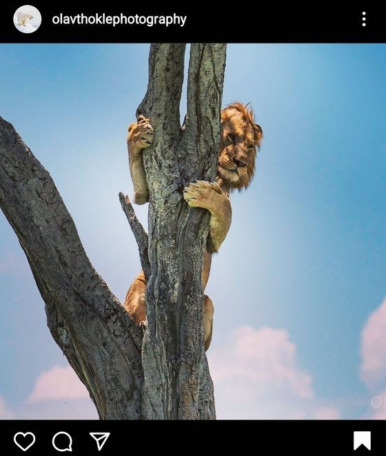 아프리카 케냐의 마사이 마라 국립 야생동물 보호구역에서 버펄로 무리의 공격을 피해 나무 위로 도망친 사자의 모습. [올라브 토클 인스타그램 캡처]