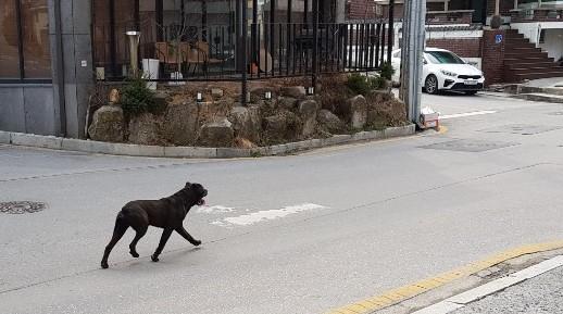 지난 2019년 3월 충북 제천시 청전동 주택가를 배회하던 검은색 맹견. 소방당국은 당시 신고 접수 10여분 만에 유기견을 포획해 동물보호센터에 인계했다. 뉴시스