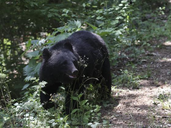 지난 19일 오후 울산 울주군 범서읍 한 농장 인근에 반달곰으로 추정되는 곰이 나타나 주변을 서성거리고 있다. 뉴스1