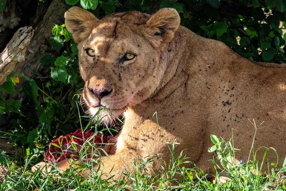 2018년 케냐 사파리에서 운 좋게 보게 된 사자. 빨갛게 드러난 살점 덩어리를 먹고 있다. 치열한 사냥 후 여유롭게 식사를 하고 있는 모습이다. [사진 허호]