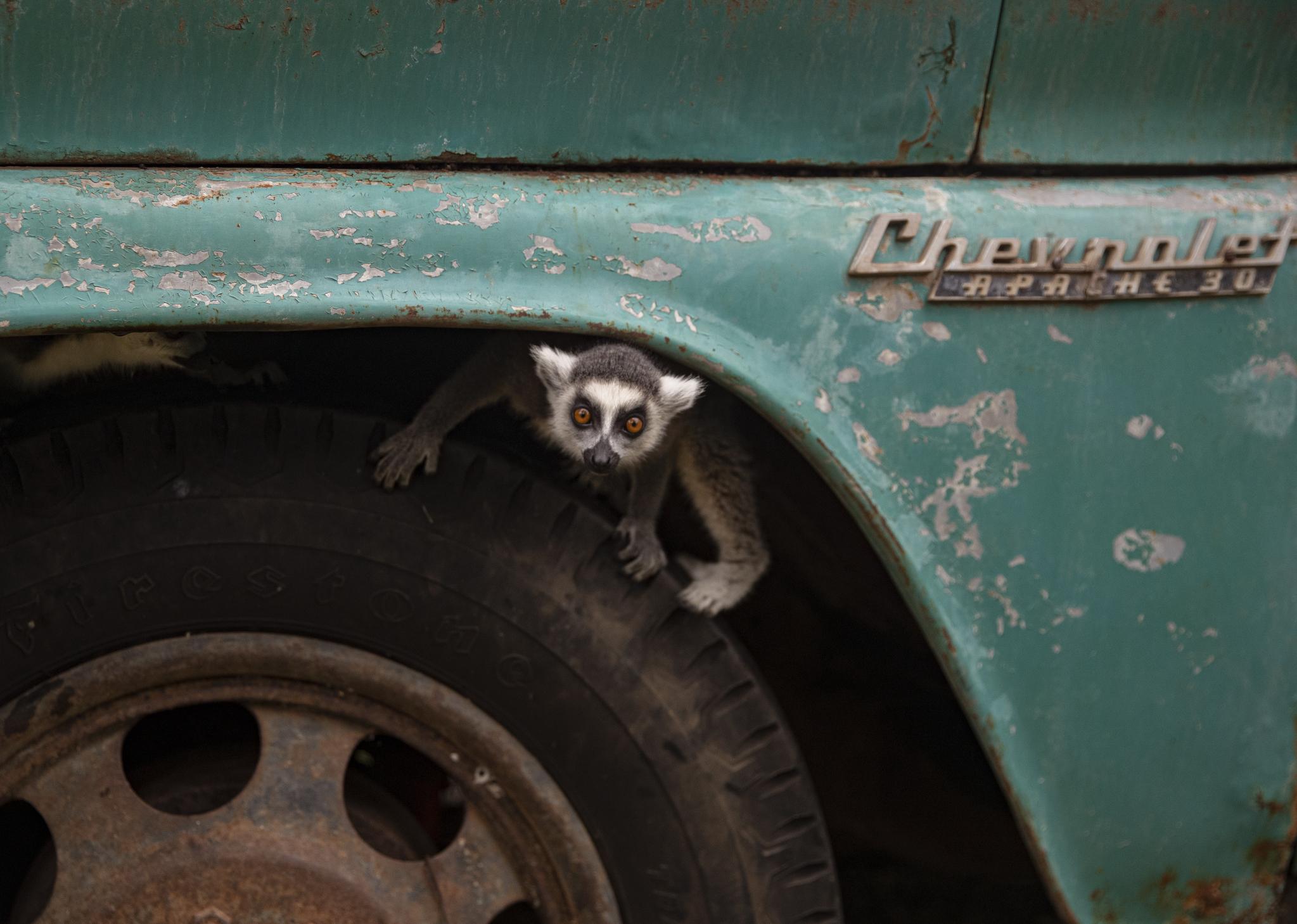 칠레 산티아고의 부인 동물원 알락꼬리여우원숭이가 15일(현지시각) 트럭 타이어에서 놀다가 카메라를 바라보고 있다. 칠레에서 가장 큰 사설 동물원인 부인 동물원은 코로나 확산으로 폐쇄가 길어지자 심각한 경영난에 처해 '동물을 후원해 달라'는 공개 캠페인을 시작했다. AP=연합뉴스