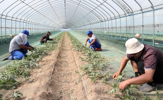 강원 양구군 국토정중앙면 청리의 수박 재배 농가에서 우즈베키스탄 계절근로자들이 순 정리 작업을 하고 있다.   양구군은 전국 최초로 외국인 계절 근로자를 받아 영농철 일손 부족을 해소하고 있다. 사진은 지난달 14일 촬영된 것. 연합뉴스