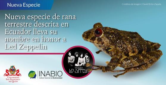 남미 에콰도르서 발견된 신종 개구리 이름은 '레드 제플린'