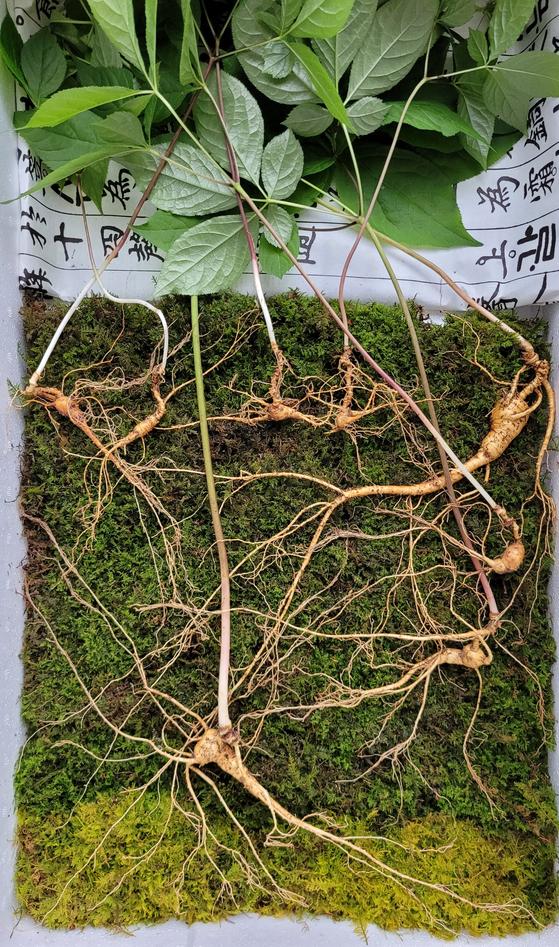 지난 17일 경남 함양군 지리산에서 발견된 가족 천종산삼. 모삼은 100년이 넘은 것으로 추정된다. [사진 한국전통심마니협회]