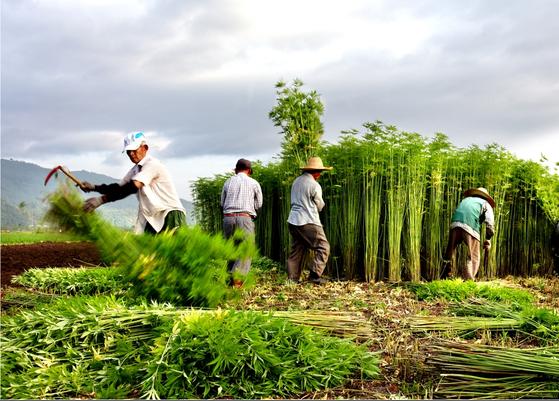 경북 안동시 대마밭에서 농민들이 안동포 제작에 쓰일 대마 줄기를 수확하고 있다. 연합뉴스 ※해당 사진은 기사와 관련 없음