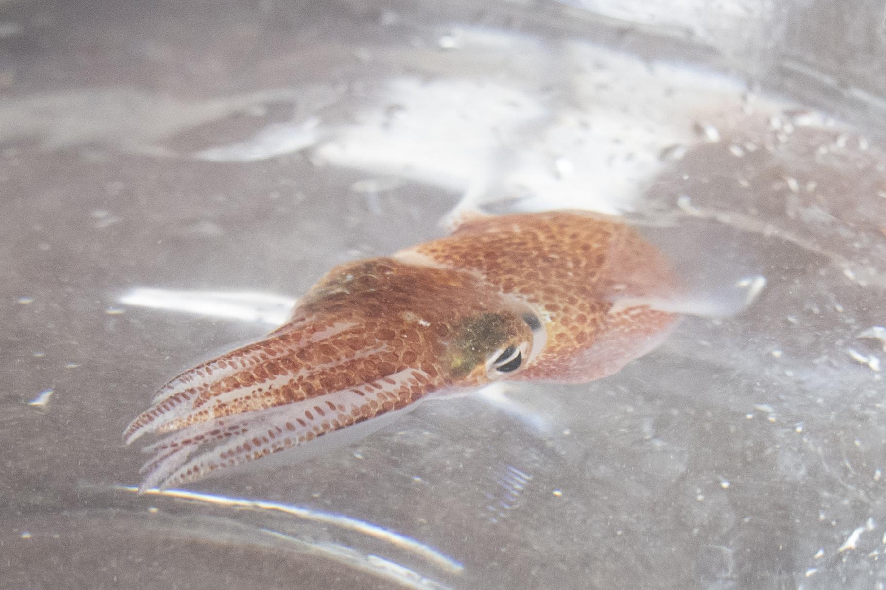 미국항공우주국(NASA)이 6월 11일 연구를 위해 아기 오징어들을 우주로 보냈다. AP=연합뉴스