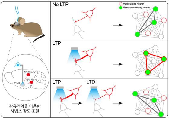 시냅스 강도 조절 메커니즘에 의한 기억 저장 뉴런 선택을 설명한 그림. [그림 KAIST]