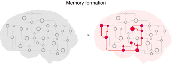 서로 강하게 연결된 뉴런 집합체 형성을 통한 기억형성을 설명하는 그림. [그림 KAIST]
