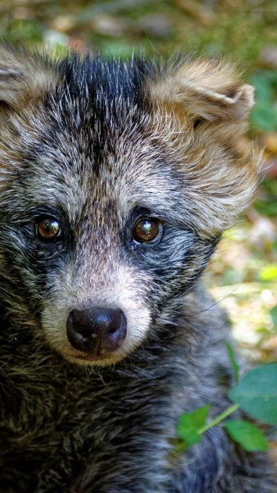 개과 너구리속의 단일종인 너구리는 동아시아에 주로 분포하는 토착종이다. [사진 pxfuel]