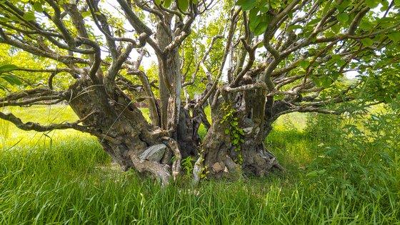 사유원의 수백년 묵은 모과나무. 숱한 연리지를 거쳐 나무 두께가 상당하다. 권혁재 사진전문기자