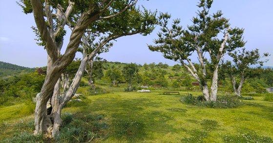 수백년 묵은 배롱나무의 모습. 7월에 분홍 꽃이 흐드러지게 핀다. 권혁재 사진전문기자