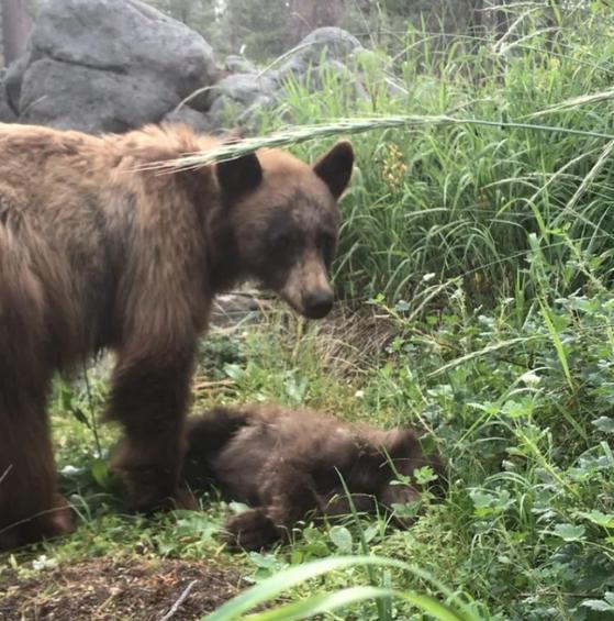 지난 주 찻길 사고로 사망한 생후 6개월 이하의 새끼 곰. 야생곰 보호단체 '킵베어스와일드'(Keep Bears Wild)에 따르면 요세미티 국립공원 내 흑곰의 주요 사망 원인이 로드킬이며 매년 수십 마리의 곰이 죽고 있다. [요세미티국립공원 페이스북 캡처]