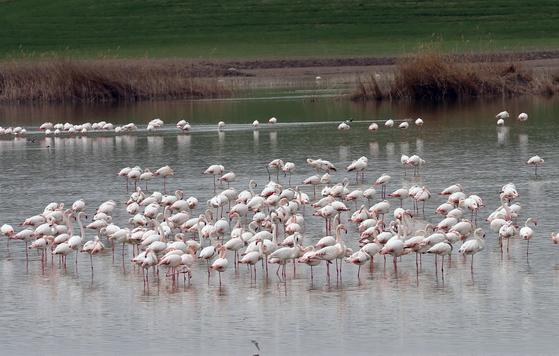 지난 6월 터키 앙카라의 모간 호수에서 포착된 플라밍고 무리. [신화통신=연합뉴스]