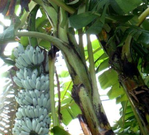 아이스크림 맛이 나는 블루 자바 바나나(Blue Java Banana). [사진 Titabanana on Wikimedia Commons]