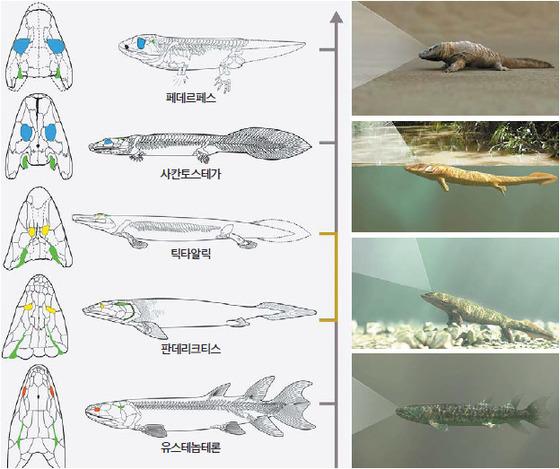 육기어류가 초기 육상 네발동물로 진화하는 과정에서 눈의 위치가 변하고 눈이 커지면서 시야가 극적으로 확장됐다.