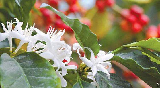 2 '언제나 당신과 함께 합니다'란 꽃말을 가진 커피 꽃. 진한 쟈스민 향이 난다.