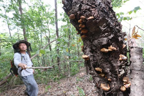 나무 밑동에 폭염과 가뭄으로 자라지 못한 운지버섯이 조그맣게 매달려 있다. 황계봉 자락을 2시간 뒤진 끝에 겨우 찾아낸 버섯이다. 신인섭 기자