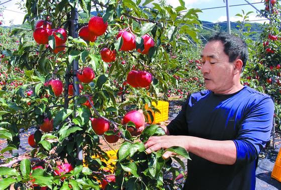 전북 무주의 사과 장인 이보상씨가 자신의 과수원을 둘러보고 있다. 이씨는 한해 100t 가량의 사과를 수확한다. [이수기 기자]
