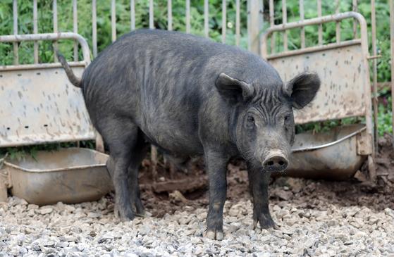 충남 홍성 원천마을 성우농장에서 키우는 재래돼지. 서양 돼지보다 날씬해서 언뜻 커다란 개처럼 보인다. 이마에 잘게 팬 주름이 도드라진다. 재래돼지의 특징 중 하나다. 김경빈 기자