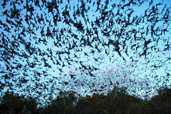 박쥐는 낙타와 함께 메르스의 온상이다. 메르스 바이러스는 박쥐의 몸속에서 더 독한 놈으로 진화한다.