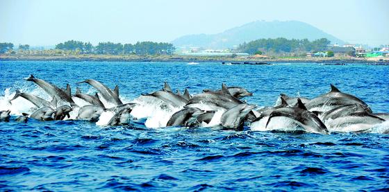 서귀포에 정착한 남방큰돌고래