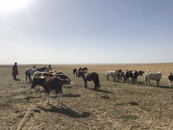 몽골 돈드고비아이막 만달고비시 주변 초원에서 유목민들이 말을 키우고 있다. 천권필 기자.
