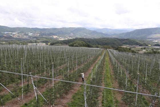 강원도 양구군 펀치볼에 있는 사과 과수원 애플카인드(AppleKind). 앞에 보이는 사과나무는 홍로 품종이며 이미 수확을 마쳤다. 신인섭 기자