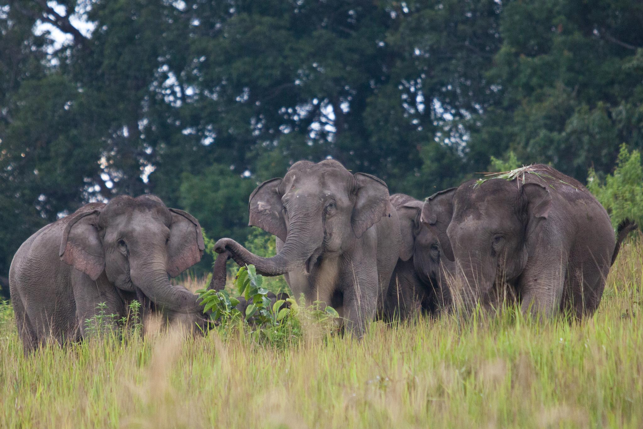 코끼리는 국내 동물원에서도 볼 수 있지만 야생에서 마주한 감격과 비교할 순 없다. 카오야이 국립공원 초원에서 만난 코끼리 가족. 안전요원의 통제에 따라 50~70m 거리에서 봤다. 최승표 기자