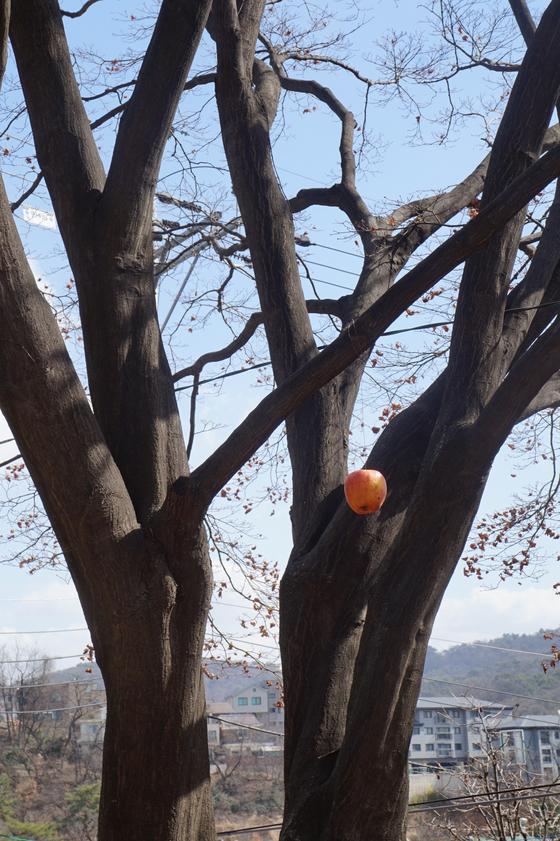 사과로 새먹이를 만들어 '까치밥'을 감나무에 달아 놨지만 아직 새소리는 뜸하다. [사진 김동률]