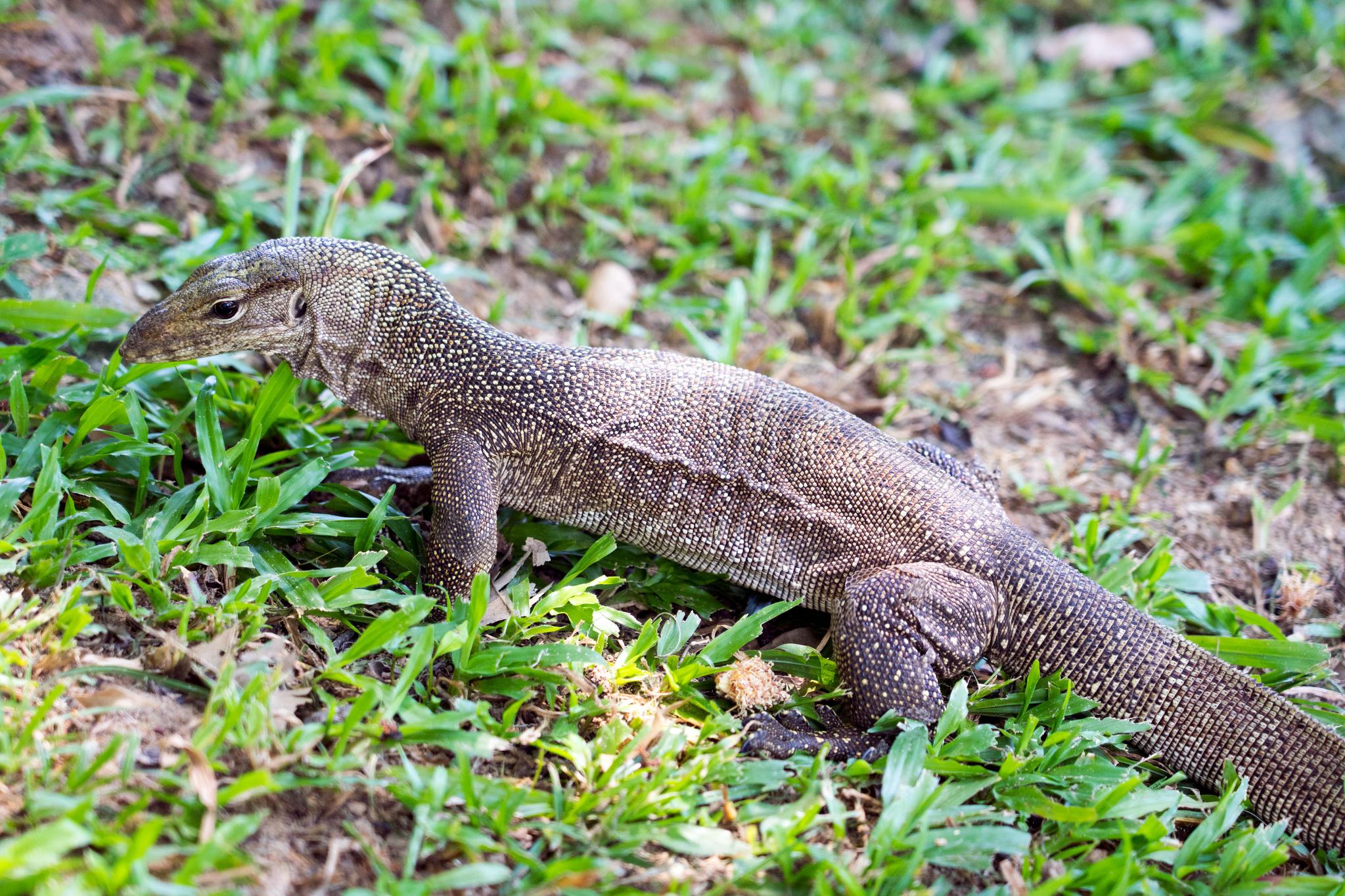 도마뱀은 보타닉 가든에서 가장 흔하게 볼 수 있는 동물이다. 백종현 기자