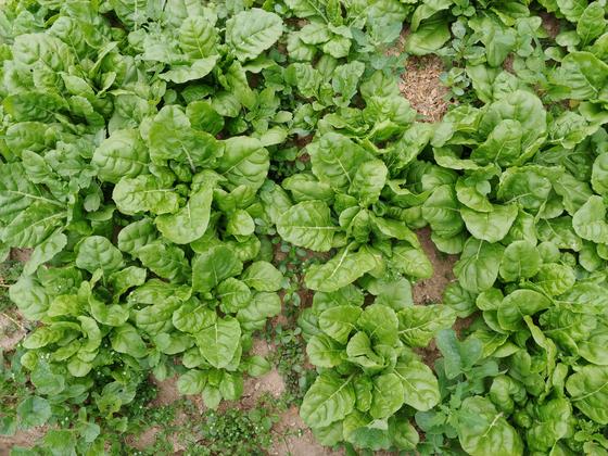 된장국을 끓이거나 데쳐서 무치거나 근대는 쓸모가 많다. 이즈음은 솎아서 먹고 포기가 커지면 잎을 따낸다.