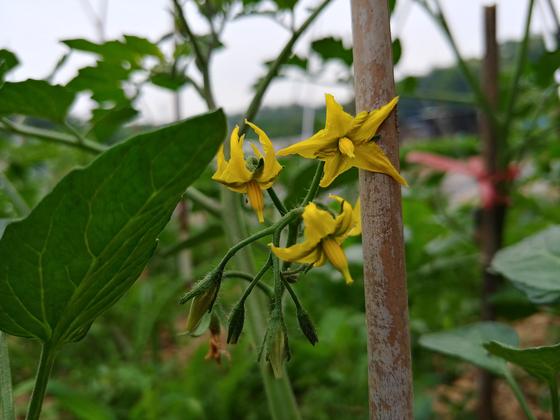 토마토 첫 꽃이다. 고추와 달리 토마토는 병충해에 강하다. 무당벌레가 걱정이지만.