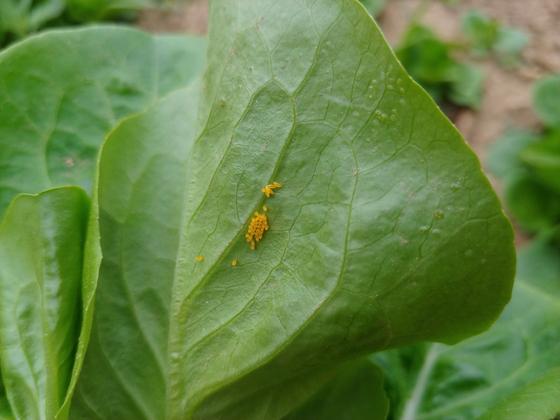 잎 뒤에 붙은 벌레알. 잎을 딸 때 아래쪽 2장을 버려야하는 이유다.