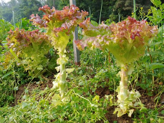 모종으로 심어 알뜰하게 발라먹은 상추. 포기마다 10장정도 따내면 봄이 간다.