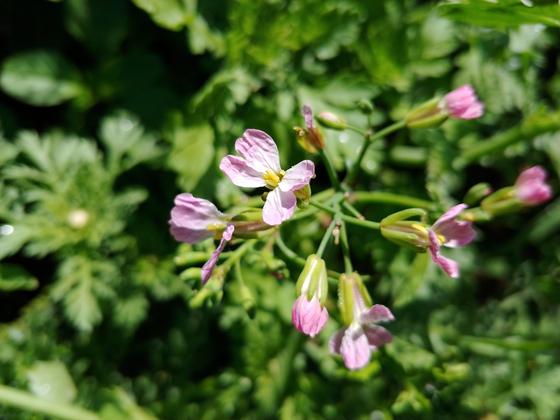 수확 않고 놔둔 20일무가 꽃을 피웠다. 종자는 같은데 분홍꽃이 있고 하얀꽃도 있다. 무와 배추는 종류가 꽤나 많은데 꽃은 거의 비슷하다. 매년 보지만 나도 헷갈린다.