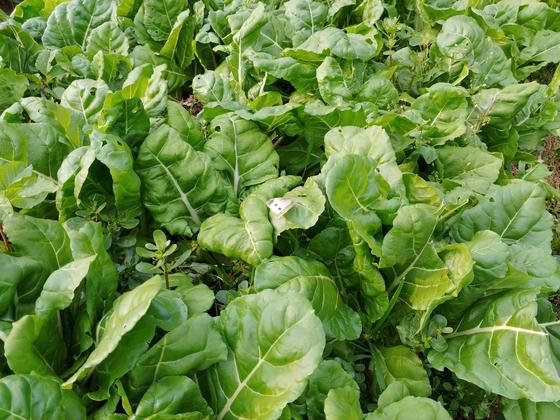 올해는 근대가 두툼하니 제대로 자랐다. 된장국거리인데 아욱 잎과 같이 넣어 끓이면 풍미가 훨씬 좋다. 시장에서 올갱이가 보이면 앞뒤 가리지 말고 한 줌 사다가 넣을 것.